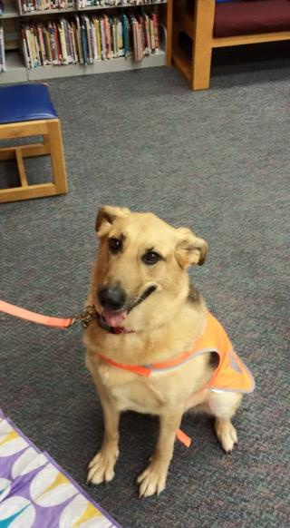 A picture of a shepard mix dog sitting on a floor in a library.